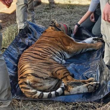 Relocating Big Cats from the Ubuntu Wildlife Sanctuary